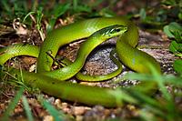 Greater Green Snake (Cyclophiops major) Shek Pik (Chinese: 石壁), southwestern coast of Lantau Island, Hong Kong, China. Central/South China (Hainan, Henan, Gansu, Anhui, Sichuan, Fujian, Guangdong, Guangxi, Guizhou, Hunan, Hubei, Jiangxi, Jiangsu, Shaanxi, Zhejiang), Taiwan, North Vietnam, Laos.[2]<br /> This Image is a part of the mission Wild Sea Hong Kong (Wild Wonders of China).
