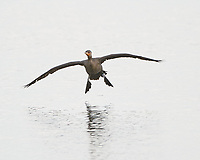 Double-crested Cormorant (Phalacrocorax auritus). Black Point Wildlife Drive. Merritt Island National Wildlife Refuge. Image taken with a Nikon D3s camera and 200-400 mm f/4 VR lens.