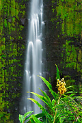 Akaka Falls and kahili ginger, Akaka Falls State Park, Hamakua Coast, The Big Island, Hawaii USA