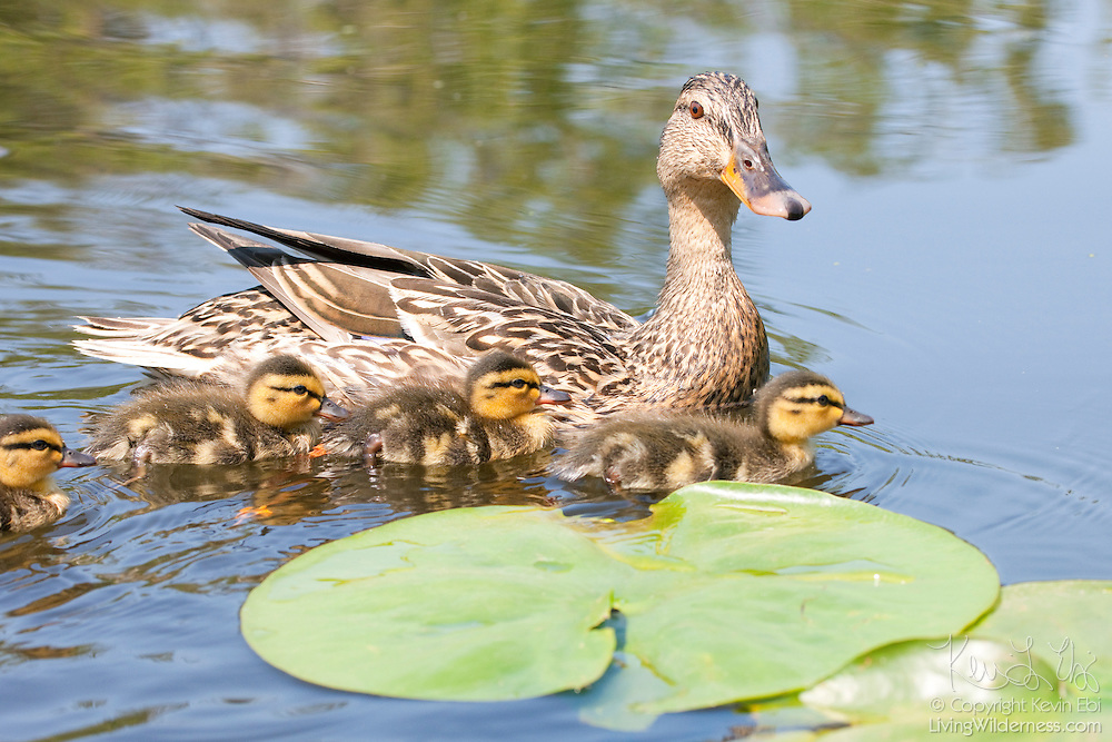 A mother mallard duck (Anas platyrhynchos) swims with several over her chicks in the Washington Park Arboretum in Seattle, Washington.