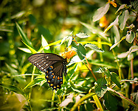 Black Swallowtail Butterfly. Image taken with a Nikon D2xs camera and 105 mm f/2.8 macro lens.