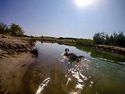 """English Setter """"Rudy"""" schwimmt am 16.06. 2018 im Teich von Stara Lysa, (Tschechische Republik).  Rudy wurde Anfang Januar 2017 geboren."""
