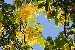 Cassia fistula, Golden Shower Tree #12