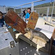 Northern Elephant Seal, (Mirounga angustirostris)  Volunteers from Marine Mammal Center coax Kona into release box. California.
