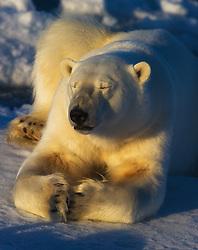 Polar bear (Ursus maritimus) resting on the ice, Nordaustlandet, Svalbard
