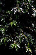 Conceicao do Castelo_ES, Brasil...Detalhe de um pe de cafe ao lado Rota Imperial em Conceicao do Castelo...A coffee tree next to Imperial Route in Conceicao do Castelo...Foto: LEO DRUMOND / NITRO