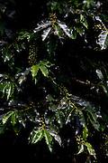 Conceicao do Castelo_ES, Brasil...Detalhe de um pe de cafe ao lado Rota Imperial em Conceicao do Castelo...A coffee tree next to Imperial Route in Conceicao do Castelo...Foto: LEO DRUMOND / NITRO