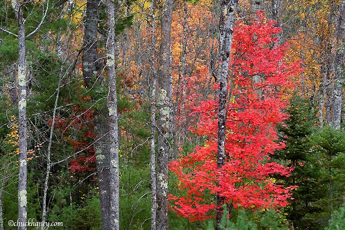 Mixed pine and maple tree forest in autumn at Voyageurs National Park in Minnesota