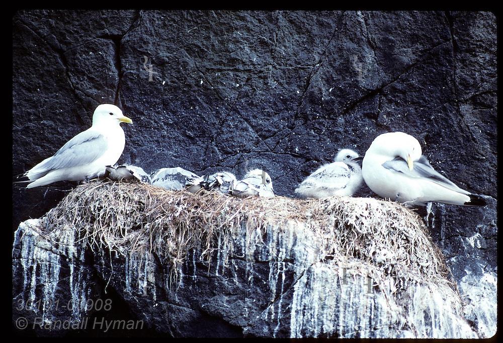 Kittiwakes tend nestlings on ledge of columnar basalt along sea cliffs of Hornbjarg; West Fjords Iceland