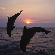 Bottlenose dolphin (Tursiops truncatus) Jumping in the Gulf of Mexico near Honduras. Captive Animal