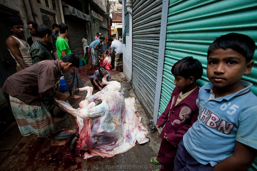 Boys watch as men butcher a cow on the streets of Dhaka, Bangladesh. Bangladesh has the world's fourth largest Muslim population, and during the three days of Eid al-Adha, the Festival of Sacrifice, Dhaka's streets run red with the blood of thousands of butchered cattle. The feast comes at the conclusion of the Hajj, the annual Islamic pilgrimage to Mecca. In both the Koran and the Bible, God told the prophet Ibrahim (Abraham) to sacrifice his son to show supreme obedience to Allah (God). At the last moment, his son was spared and Ibrahim was allowed to sacrifice a ram instead. In Dhaka, as in the rest of the Muslim world, Eid al- Adha commemorates this tale, and the meat of the sacrificed animals is distributed to relatives, friends, and the poor.
