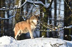 28.12.2014, Wildtierpark, Bad Mergentheim, GER, Wölfe im Wildtierpark Bad Mergentheim, im Bild maennlicher Leitwolf, Alphawolf, Timberwolf, Kanadischer Wolf (Canis lupus occidentalis) im Schnee, haelt Ausschau, captive // Wolves in the Wildtierpark in Bad Mergentheim, Germany on 2014/12/28. EXPA Pictures © 2015, PhotoCredit: EXPA/ Eibner-Pressefoto/ Weber<br /> <br /> *****ATTENTION - OUT of GER*****