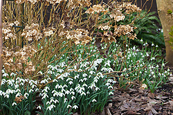 Galanthus 'S. Arnott' AGM syn. Galanthus nivalis 'Sam Arnott' (foreground) with Galanthus 'Scharlockii' growing at the base of a hydrangea. Snowdrops.