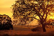 Oak tree at sunset in the Sierra foothills, California