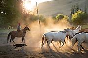Gaucho on horseback and dog herding horses at sunset, Estancia Huechahue, Patagonia, Argentina, South America