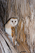 Barn Owl (Tyto alba) on a Palm tree at night, Hefer valley, Israel