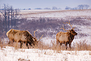 19 FEBRUARY 2021 - PRAIRIE CITY, IOWA: Manitoban elk bulls (Cervus canadensis manitobensis), a subspecies of elk found in the Midwestern United States, graze in a snow covered field at the Neal Smith National Wildlife Refuge near Prairie City, about 45 minutes from downtown Des Moines. The Wildlife Refuge has the largest herd of wild bison in Iowa and the only herd of wild elk in Iowa. Both animals were once native to Iowa and common in the state, but were hunted to extinction in 19th century. Controlled herds were reintroduced in the mid 20th century. Both the bison and elk herds are carefully managed to maintain genetic diversity.      PHOTO BY JACK KURTZ