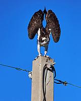 Osprey (Pandion haliaetus). Fort De Soto Park. Pinellas County, Florida. Image taken with a Nikon D4 camera and 500 mm f/4 VR lens.