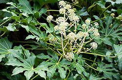 Fatsia japonica AGM syn. Aralia japonica - Japanese aralia