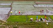 Planting rice in Kaziranga, Assam, India.