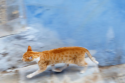 Cat running down blue alley, Chefchaouen, Morocco