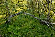 Mountain birch forest, Betula pubescens ssp. tortuosa, Saltoluokta area, bordering to the Stora Sjöfallet National Park, Greater Laponia rewilding area, Lapland, Norrbotten, Sweden