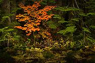 Autumn vine maple (Acer circinatum) in a coniferous forest near Mount Rainier in the Cascade Mountain Range, Washington state, USA
