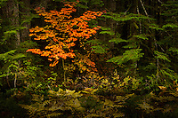 Autumn vine maple (Acer circinatum) in a coniferous forest near Mount Rainier in the Cascade Mountain Range, Washington state, USA