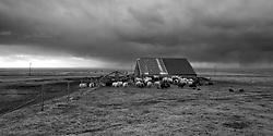 Sheeps at farmhouse Steinar, Eyjafjoll, Iceland - Kindur við fjárhús, Steinar, Eyjafjöll