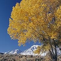 Fall-colored cottonwoods under eastern Sierra Nevada escarpment.