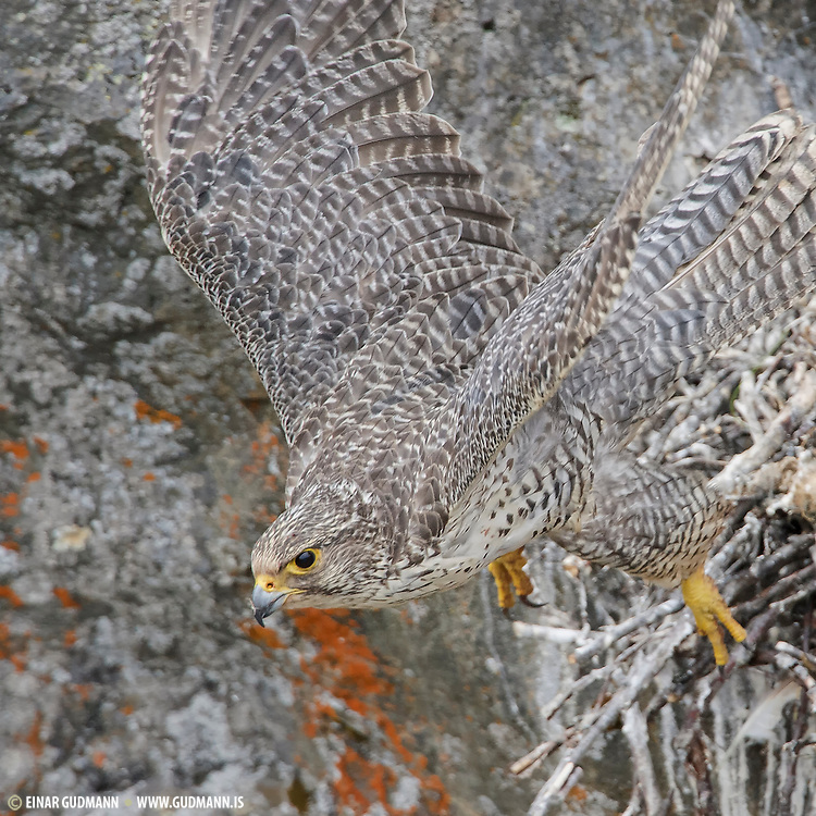 The gyrfalcon or Falco rusticolus (gerfalcon) is the largest of all falcon species. The Gyrfalcon breeds on Arctic coasts and islands of North America, Europe and Asia. The gyrfalcons on these photos is feeding it´s chick in Iceland.