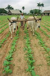 Farmer using oxen to plough between rows of tobacco seedlings on cooperative farm near Pinar del Rio; Cuba,