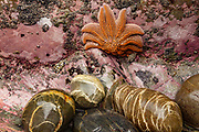 Reef starfish, Patangaroa spp,  attached to rocks, visible at low tide, Paparoa National Park, West Coast, New Zealand.