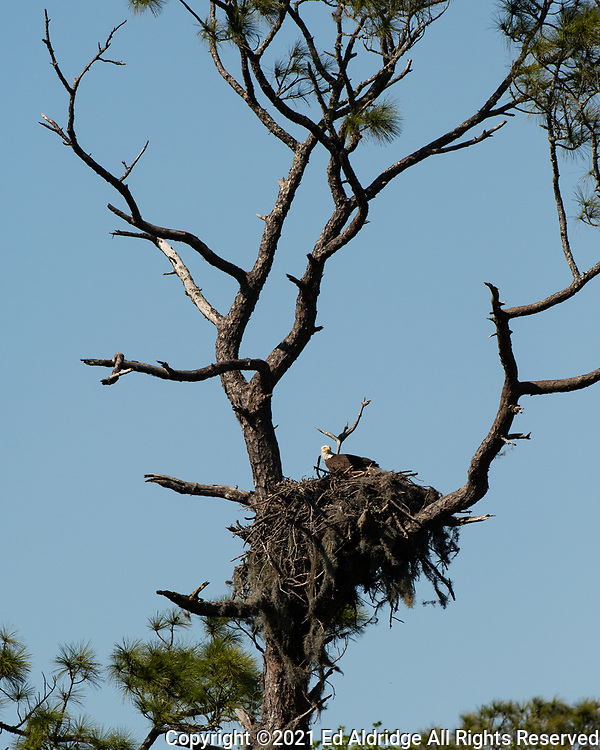 Bald Eagle in the nest at the Sea Pines Forest Preserve on Hilton Head Island, South Carolina. Image taken by Ed Aldridge with a NIKON Z 6_2 and 500mm f/4D at 500mm, ISO 1000, f8, 1/2000.
