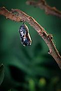 Monarch butterfly chrysalis (Danaus Plexippus). the chrysalis darkens just before emegance. (2 0f 11).