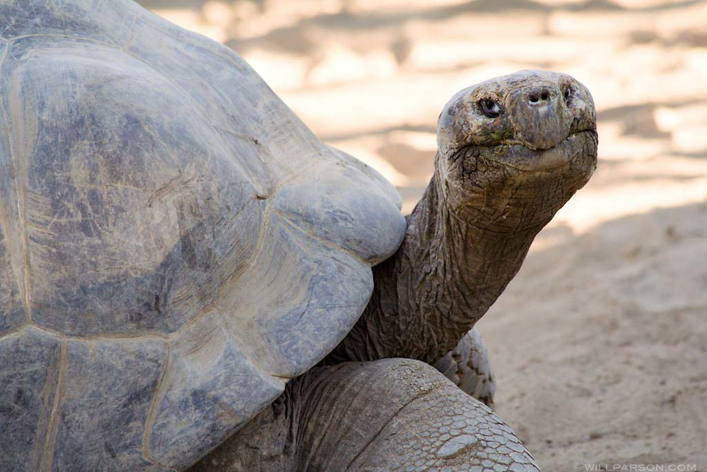 A very large Galapagos tortoise at the San Diego Zoo