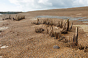 Wooden posts revealed at  low tide low beach shingle levels, Bawdsey, Suffolk, England, UK possibly old coastal defences