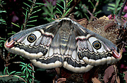 Emperor Moth, Saturina pavonia, female on heather shrub, showing eye spots on wings.