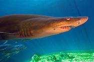 "USA, Vereinigte Staaten Von Amerika: Florida Aquarium, Schwarznasenhai (Carcharhinus acronotus), Galerie ""Sea Hunt"", Tampa, Florida | USA, United States Of America: Florida Aquarium, blacknose shark (Carcharhinus acronotus), gallery ""Sea Hunt"", Tampa, Florida |"