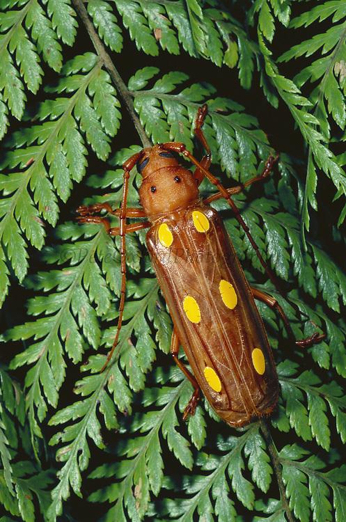 Long-horned Beetle<br />Cerambydidae<br />Manu Cloud Forest, PERU  South America