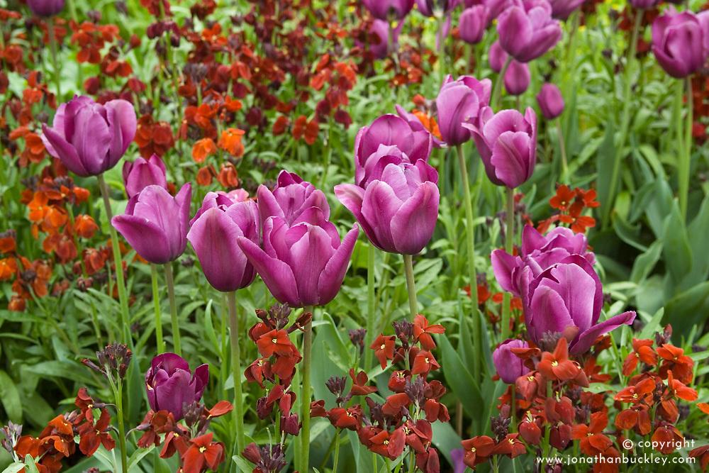 Tulipa 'Recreado' with wallflower Erysimum 'Blood Red'