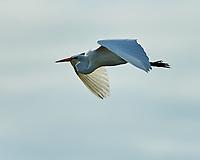 Great Egret (Ardea alba). Fort De Soto Park. Pinellas County, Florida. Image taken with a Nikon D700 camera and 300 mm f/2.8 VR lens and 2.0x TC-E teleconverter.