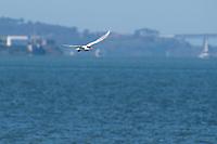 Caspian Tern, Hydroprogne caspia, flying over San Francisco Bay at Cesar Chavez Park, Berkeley, California