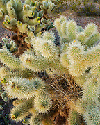 Cactus Wren Nest in Cholla Cactus, Kofa Wilderness, Kofa National Wildlife Refuge, Yuma County, Arizona