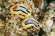 Anna's Chromodoris (Chromodoris annae)<br /> Cenderawasih Bay<br /> West Papua<br /> Indonesia