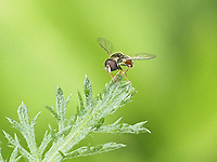 An Eastern Calligrapher Fly in Dene Native Meadow of Central Park