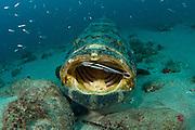 A whitefin remora Echeneis neucratoides cleans the inside of the mouth of a goliath grouper Epinephelus itajara in Palm Beach, Florida. Endangered