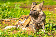 Striped Hyena (Hyaena hyaena) in captivity
