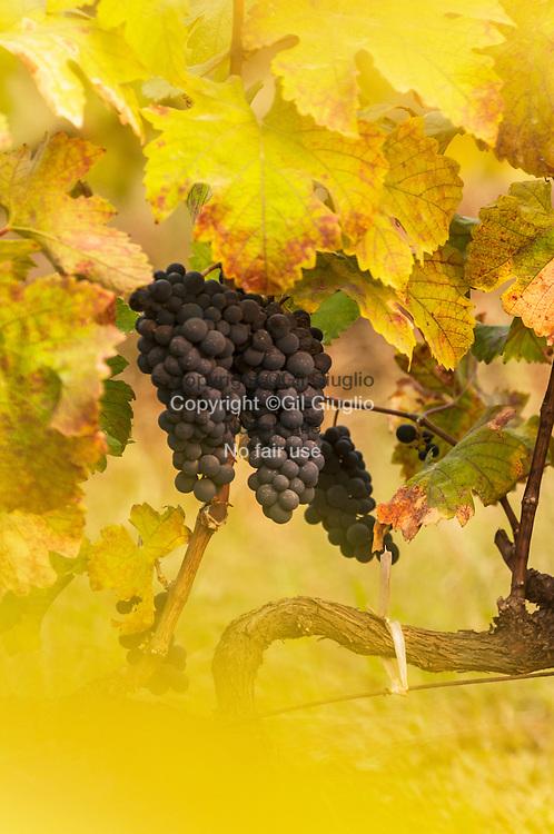Myanmar, état shan, cépages viticoles de la propriété Aythaya Wines, ville de Hton Bo // Myanmar, Shan States, wineyard grapes in Aythaya Wine property, Htone Bo town