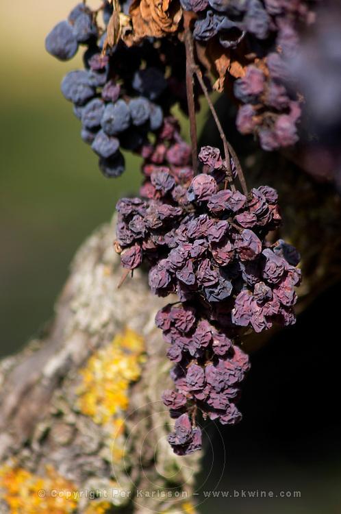Dried out grapes by too much sun. Cabernet franc. Domaine Charles Joguet, Clos de la Dioterie, Chinon, Loire, France